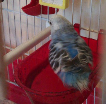 a budgie taking its bath in cage