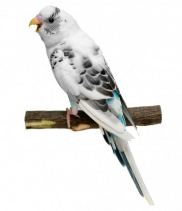 Budgie Identification Guide (sex, age and mutations