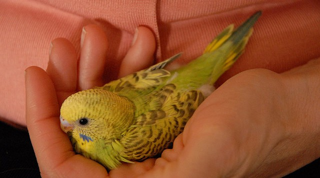 photo of a young budgerigar parrot